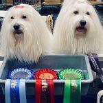 Teddy & Bertie at Crufts